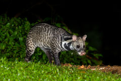 Nocturnal animals Viverra zibetha Royalty Free Stock Photography
