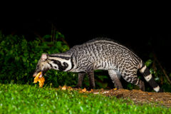 Nocturnal animals Viverra zibetha Royalty Free Stock Images