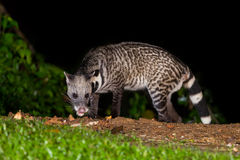 Nocturnal animals Viverra zibetha Stock Images