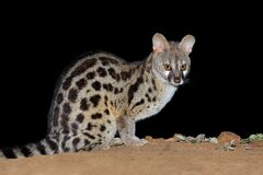 Free Nocturnal Large-spotted Genet - South Africa Royalty Free Stock Photo - 168984355