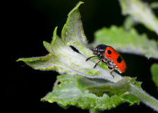 Nocturnal little beetle Royalty Free Stock Photography