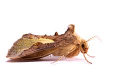 Nocturnal moth Royalty Free Stock Image