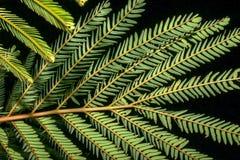 Nocturnebeeld van de Perzische bladeren van de zijdeboom royalty-vrije stock fotografie