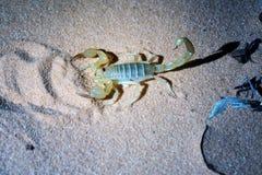 Nocy fotografować skorpion z błysku światłem Hadrurus ar Fotografia Royalty Free
