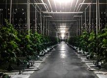 Nocy iluminaci wysocy ogórkowi krzaki z dojrzenie owoc ogórkami w szklarni ochraniający glebowi sześciany nawadnia kapinos zdjęcia stock