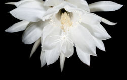 Nocy kwitnienia Cereus. Także znać jako królowa  Zdjęcie Royalty Free