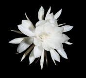 Nocy kwitnienia Cereus. Także znać jako królowa noc na czerni Zdjęcia Stock