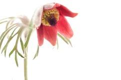 Nodding anemone Stock Image