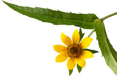 Nodding Bur-marigold Stock Photo