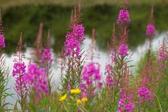 Nodding fireweed growing on the bank of a pond Stock Images