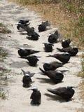 Noddy preto ou minutus branco-tampado de Anous do noddy imagens de stock royalty free