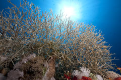 Noded coral Royalty Free Stock Photos