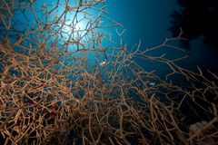 Noded horny coral and fish in the Red Sea. Stock Image