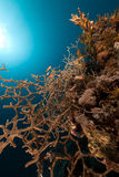 Noded horny coral in the Red Sea. Royalty Free Stock Photo