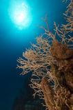 Noded horny coral and tropical reef in the Red Sea. Royalty Free Stock Image