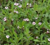 Nodiflora филумов Стоковое Изображение RF