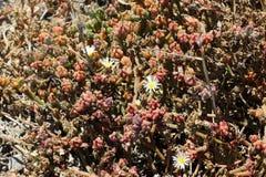 Nodiflorum del Mesembryanthemum, slenderleaf iceplant Foto de archivo