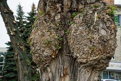 Nodo dell'albero, fine unsusual sul nodo sull'albero Legno annodato L'asino sull'albero su fondo vago molle fotografia stock