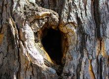 Nodo a forma di del bello cuore su un albero molto vecchio Fotografia Stock