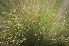 Nodosa Ficinia, η δεμένη λέσχη-εσπευσμένη ή knobby λέσχη-βιασύνη στοκ φωτογραφίες