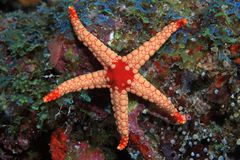 Noduled sea star Royalty Free Stock Photography