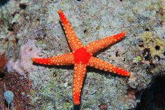 Noduled sea star Royalty Free Stock Images