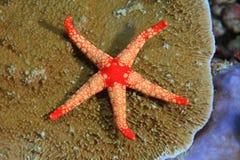 Noduled sea star Royalty Free Stock Photo