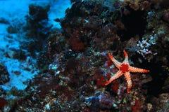 Noduled sea star Stock Image