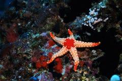 Noduled sea star Royalty Free Stock Photos