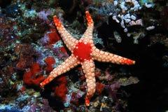 Noduled sea star Stock Photography