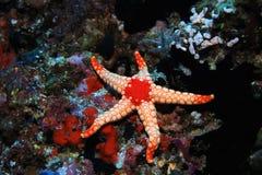Noduled sea star Stock Photo
