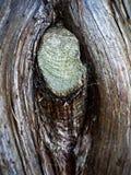 Noeud dans l'arbre photos stock