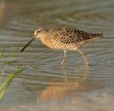 Noeud rouge dans le plumage d'élevage marchant dans le wa peu profond Photographie stock libre de droits