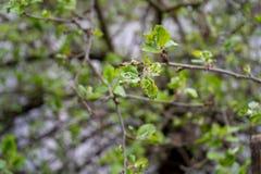 Noeuds de pommier environ ? fleurir dans des fleurs pour le fruit de pollination photographie stock libre de droits