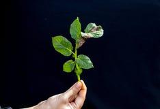 Noeuds sur la feuille verte fraîche de la plante de pomme de terre cassée par le Phytophthora Infestan photographie stock libre de droits