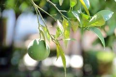 Nog groene sinaasappel Stock Afbeeldingen
