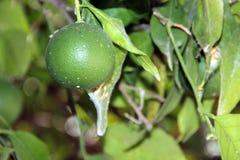 Nog groene sinaasappel Stock Afbeelding