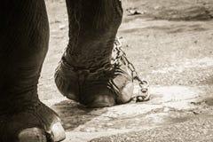 Noga przykuwający słoń i spojrzenie bardzo żałośni obrazy royalty free