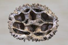 Nogal negro Shell Imagen de archivo libre de regalías
