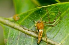 nogi tęsk pająk Zdjęcie Royalty Free