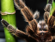 nogi tarantulę Zdjęcie Royalty Free