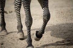 nogi target909_1_ zebry Obrazy Stock