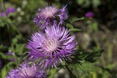 Nogmovii de Centaurea Photos libres de droits