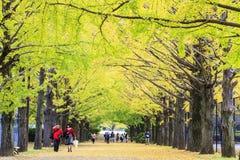 Nogueira-do-Japão bonita ao longo do comprimento da rua Imagem de Stock