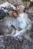Noi, scimmia Immagine Stock