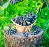 Noir ashberry dans un panier dans le jardin Photo stock