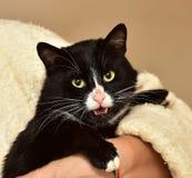 noir avec le chat blanc sur des mains Photographie stock libre de droits