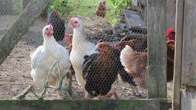 Noir, blanc et poulets de Brown image stock