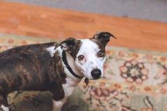 Noir, Brown, et petit chien blanc de race photo libre de droits