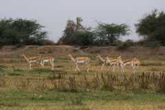 Noir Buck Sanctuary de Medha à Ahmedabad, Inde Photo libre de droits